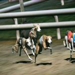How to Play Virtual Dog Race Betting At Online Bookmaker